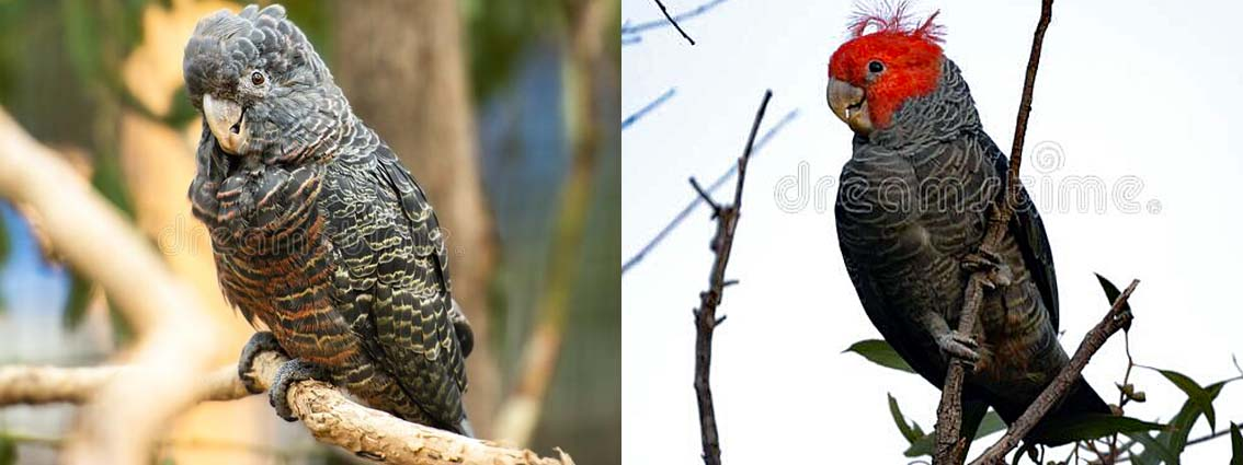 Vote For Gang Gangs in Australian Bird of the Year Poll 2021